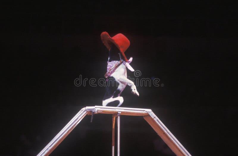 Hund som utför trick, Ringling bröder & Barnum & Bailey Circus arkivfoton