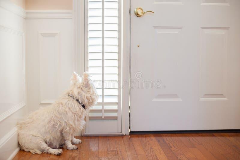 Hund som väntar på dörren arkivfoton