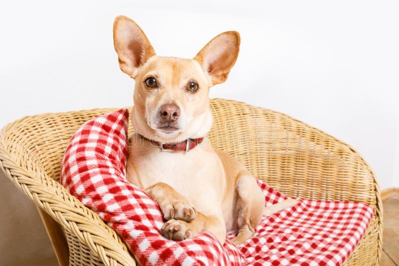 Hund som vilar i säng med filten royaltyfria foton