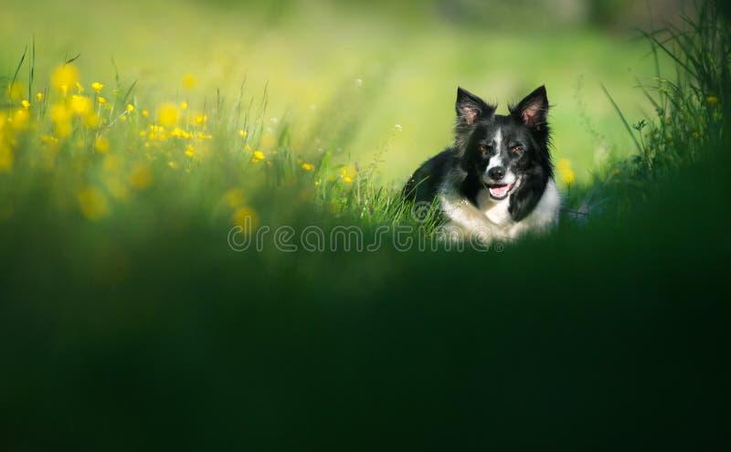 Hund som vilar på ängen Svartvita border collie arkivfoton
