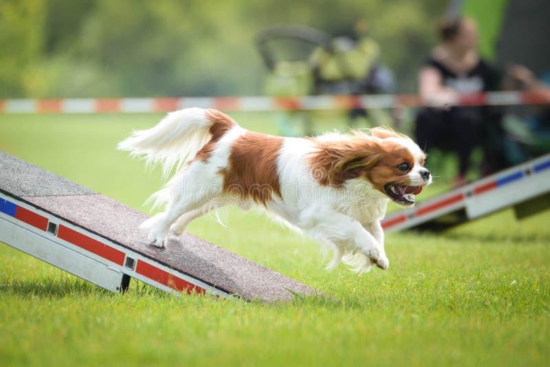 Hund spaniel f?r konung charles i vighet i zon arkivbild