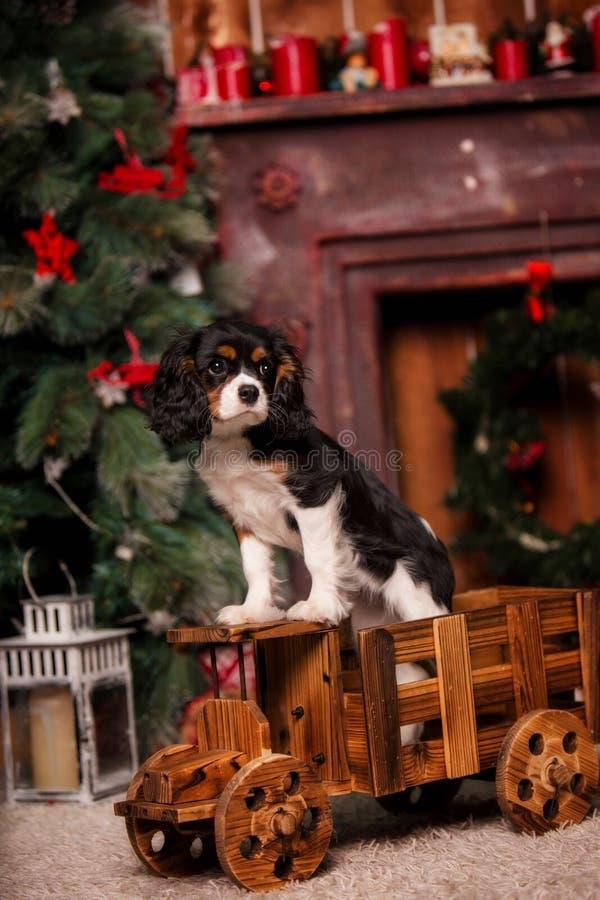 Hund Spaniel Weihnachtskönigs Charles auf dem Auto stockbilder