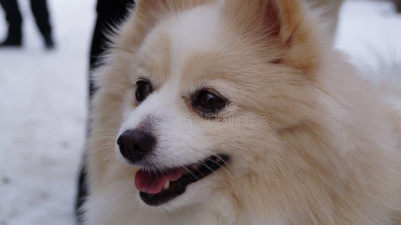 Hund Spiz arkivfoto