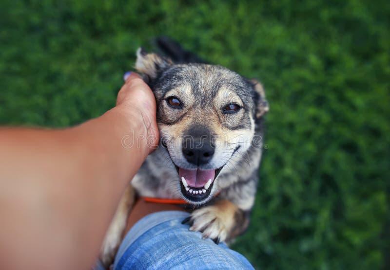 Hund springt einmal Beine auf seinen Füßen menschlich und verlangt seine Liebkosung und das Verkratzen für Ohr lizenzfreie stockfotos