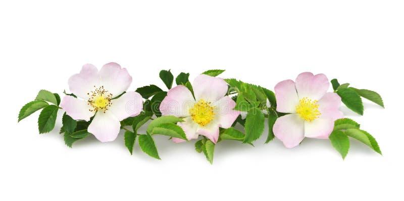 Hund stieg die Blumen, die auf Weiß lokalisiert wurden lizenzfreie stockbilder