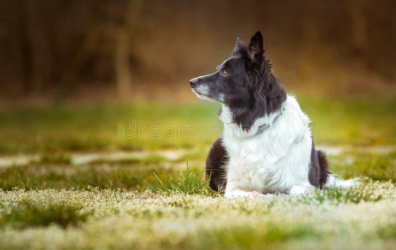 Hund - svartvita Border collie - som ligger på ängen med vita blomma blommor royaltyfri fotografi