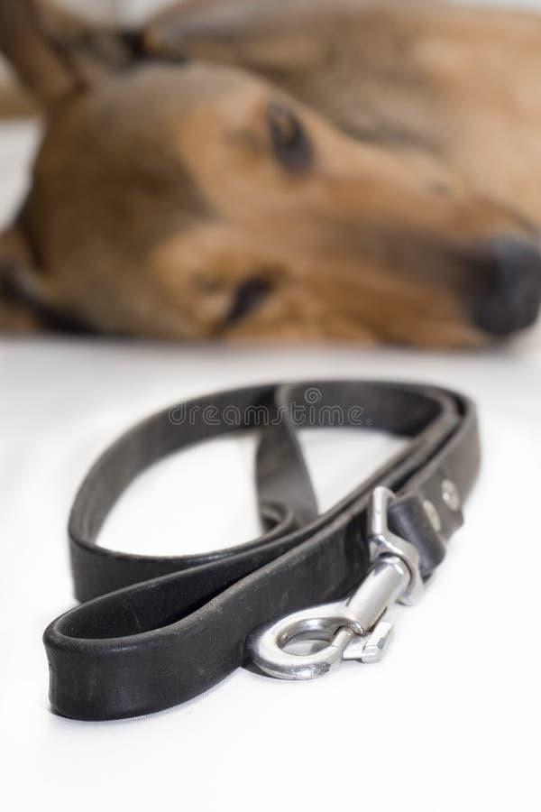 Hund träumt vom Gehen stockfotografie