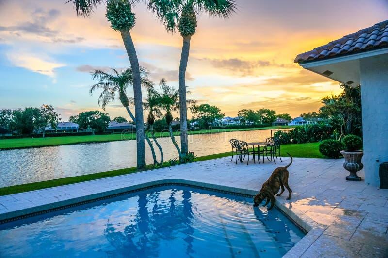 Hund trinkt aus einem Swimmingpool heraus bei Sonnenuntergang mit Palmen lizenzfreie stockfotos