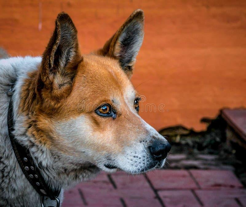 Hund troget följe, husdjur som är rött, blick, skarp gla royaltyfri fotografi