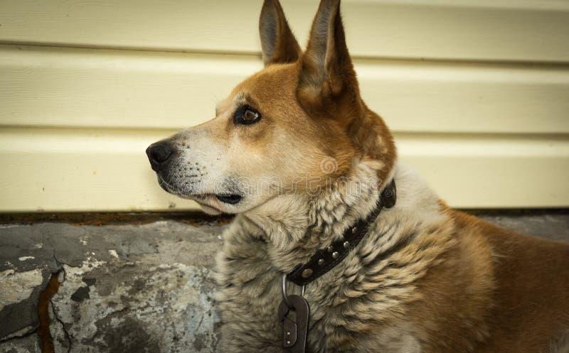Hund troget följe, husdjur som är rött, blick, skarp gla fotografering för bildbyråer