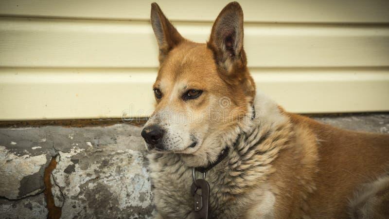 Hund troget följe, husdjur som är rött, blick, skarp gla royaltyfria foton