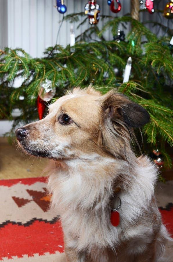 Hund und der Weihnachtsbaum stockfotografie