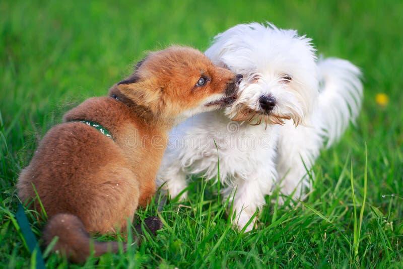 Hund und Fuchs stockfoto