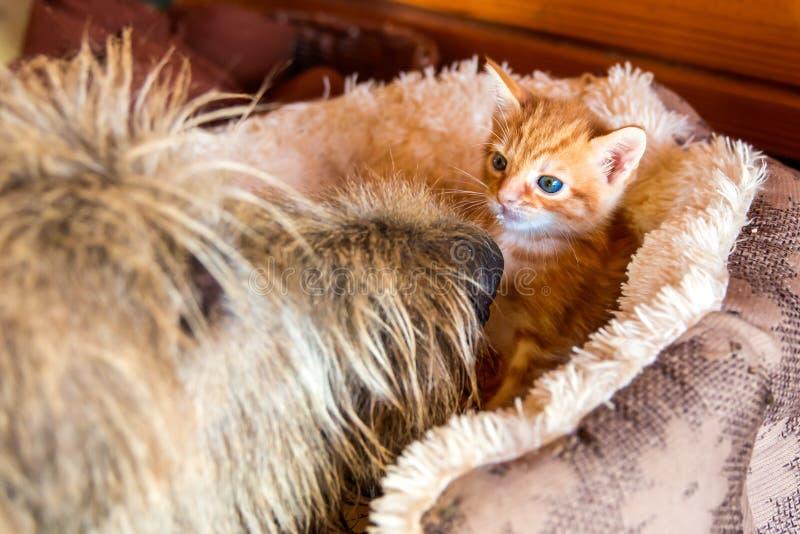 Hund und Kätzchen des irischen Wolfshunds lizenzfreies stockfoto