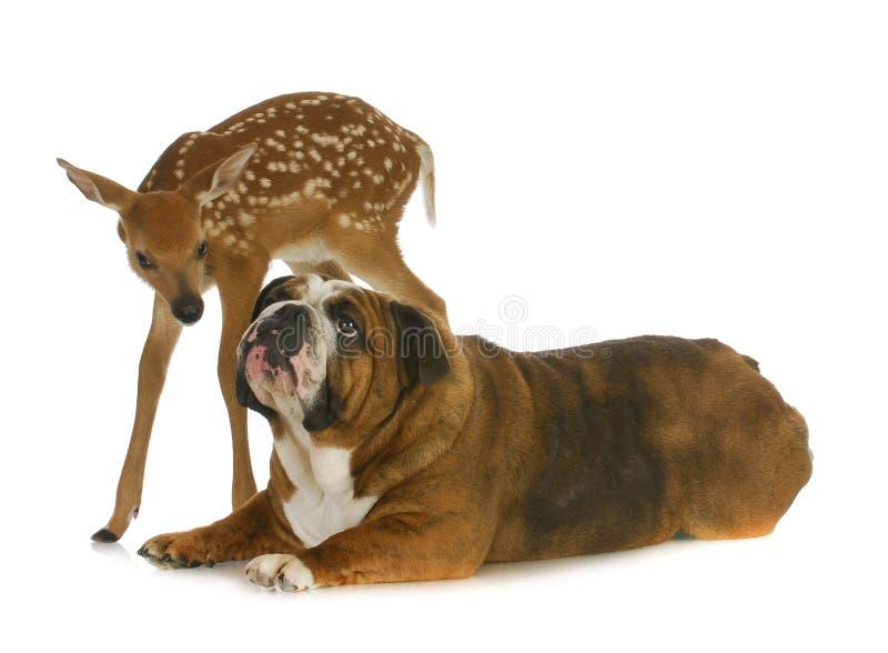 Hund und Rotwild stockfoto