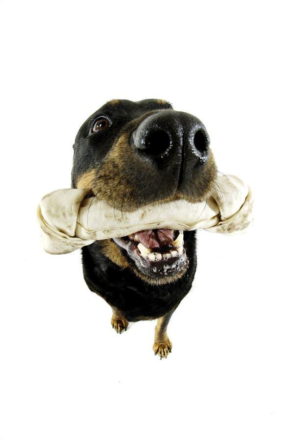 Hund und sein Knochen lizenzfreie stockbilder