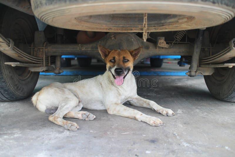 Hund under bilen arkivfoton