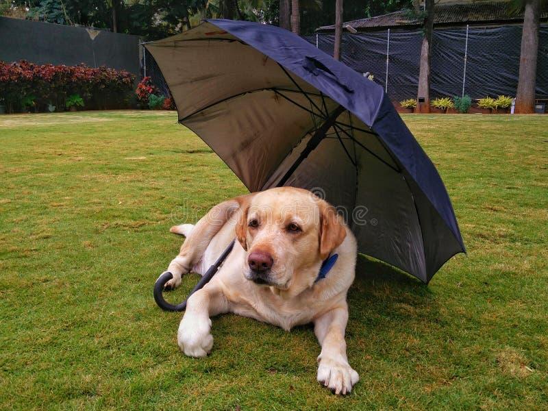 Hund under paraplyet royaltyfria foton