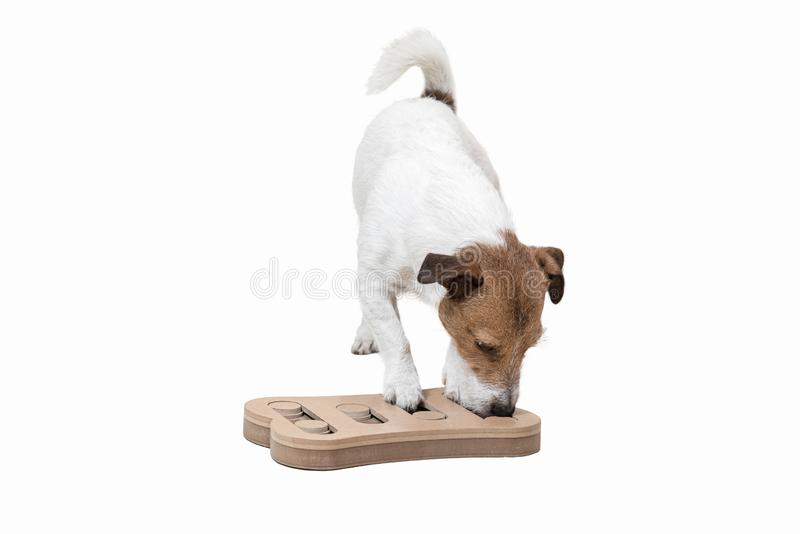 Hund under stimulerande mentalt aktivitet med pusslet som sniffar leken royaltyfri fotografi