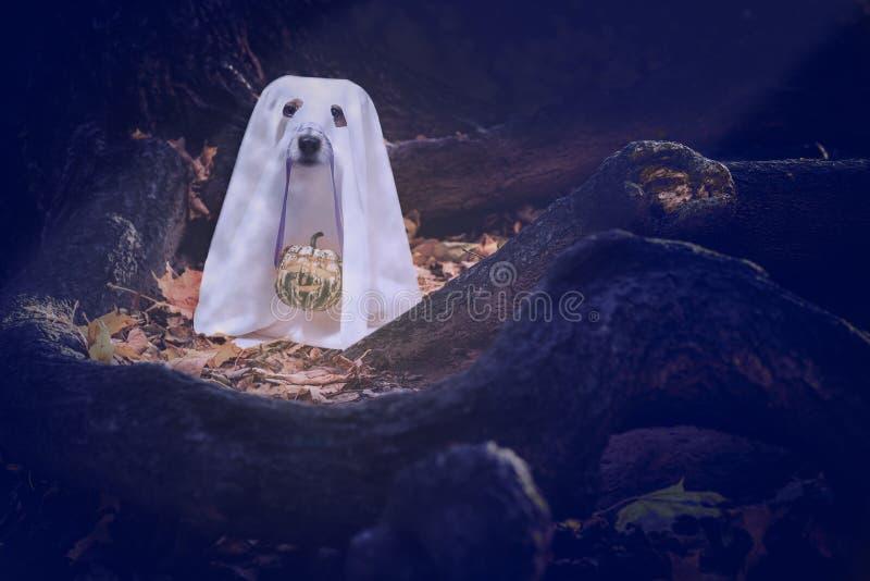 Hund unter dem weißen umfassenden Kostüm des netten Geistes Halloween-Jack-O-Laterne halten schnitzte Kürbis auf Nase stockfoto