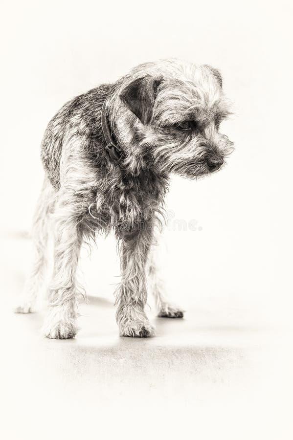 Hund, Wachsamkeit, Neugier, Terrier, Border Terrier, Stellung, Querstation stockbild