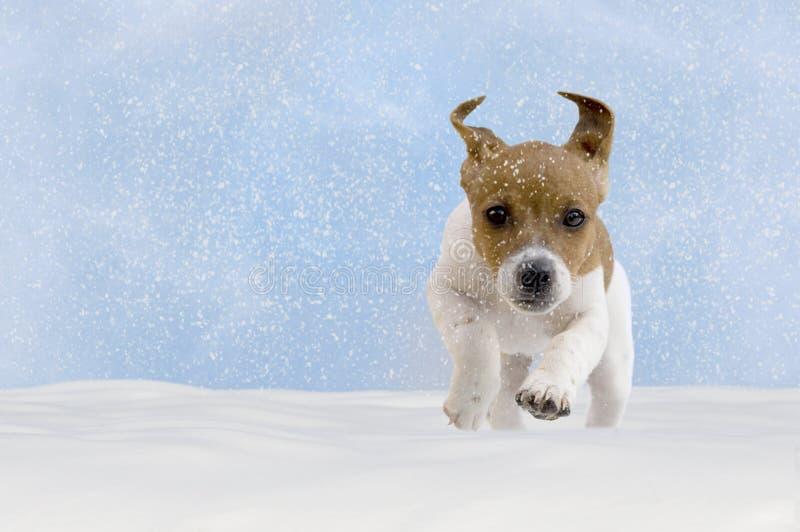 Hund, Welpe, Steckfassungsrussel-Terrier, der im Schnee spielt lizenzfreies stockfoto