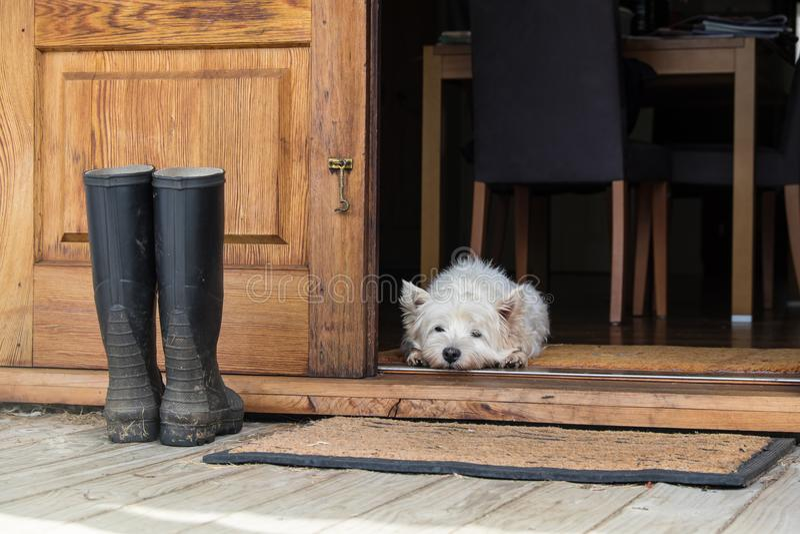 Hund westie weißer Terrier des Seniorwesthochlands, der auf Matte looki liegt lizenzfreie stockfotos