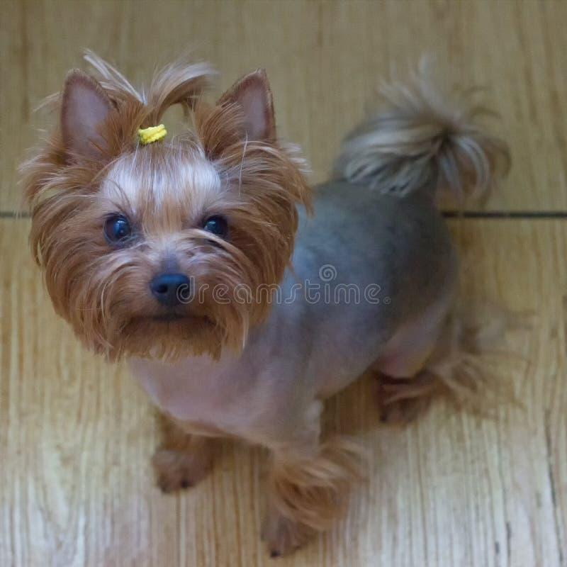 Hund Yorkshire Terrier royaltyfria foton