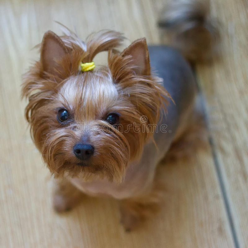 Hund Yorkshire Terrier royaltyfri fotografi