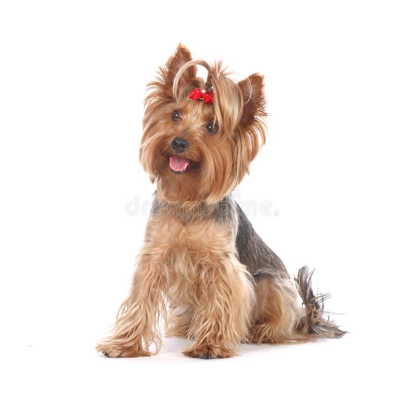 Hund, Yorkshire-Terrierportrait stockbild