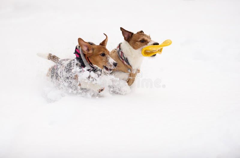 Hund zwei, der zusammen mit Spielzeug auf weißem Schnee läuft und spielt stockbilder