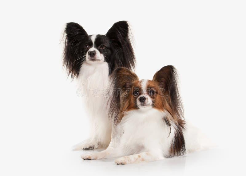Hund Zwei Papillon-Welpen auf einem weißen Hintergrund stockfoto