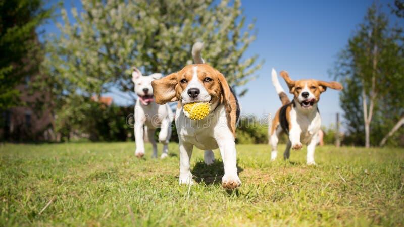 hundar grupperar att leka royaltyfria foton