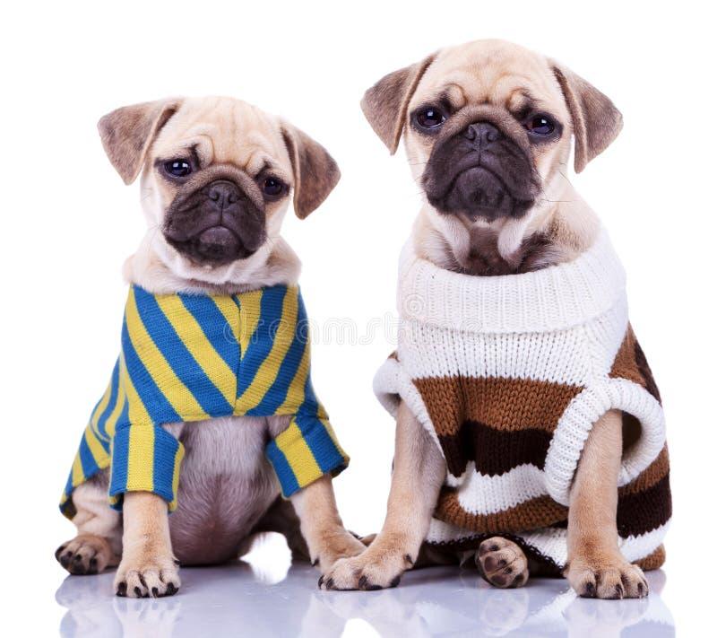 hundar klädde mopsvalp två fotografering för bildbyråer