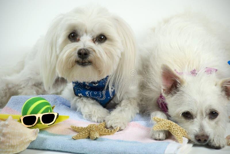 hundar kopplar av arkivbilder