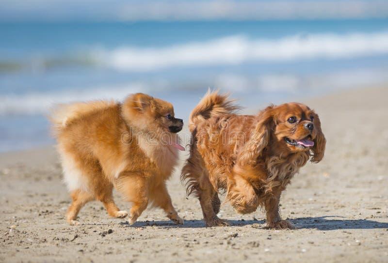 Hundar på stranden arkivfoton