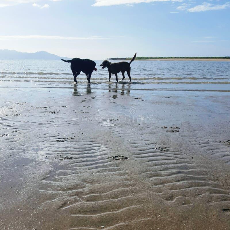 Hundar på stranden fotografering för bildbyråer