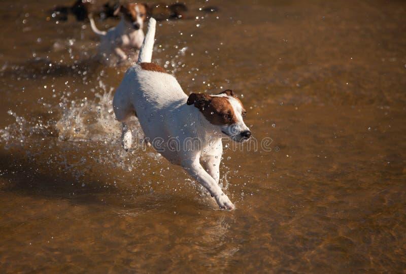 hundar silar leka russell terriervatten arkivfoto