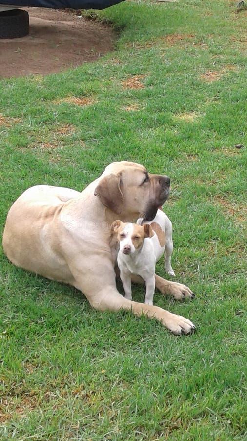 Hundar som är bäst vänner royaltyfri fotografi
