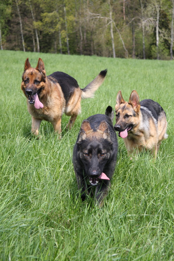 hundar som kör tre fotografering för bildbyråer