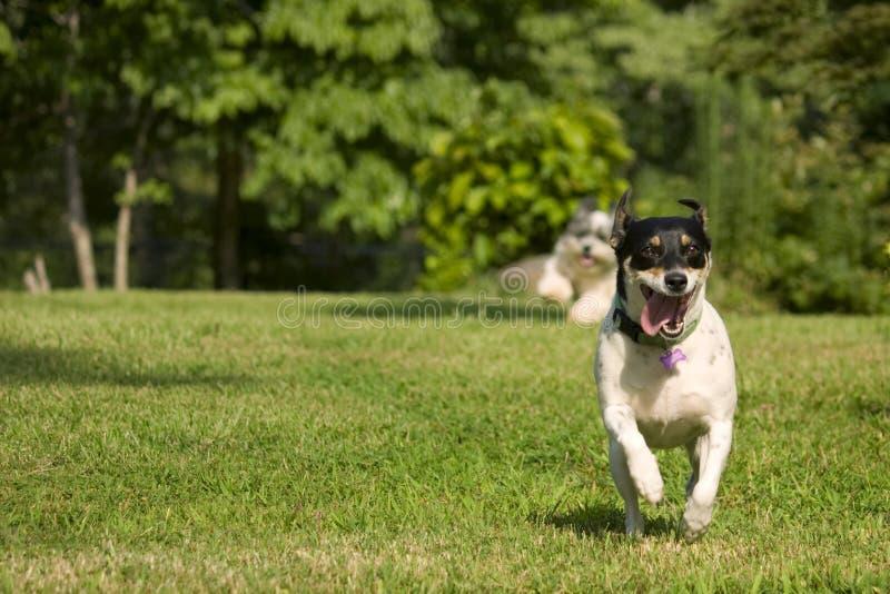 hundar som kör två arkivfoton