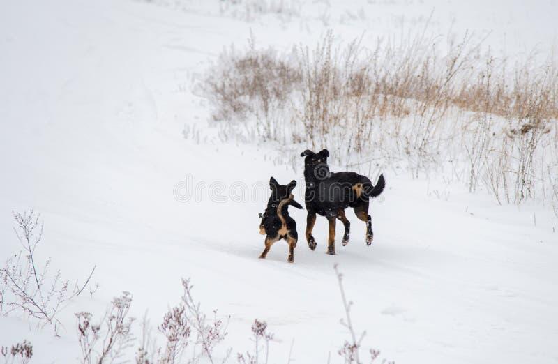 hundar som kör vinter två arkivfoton