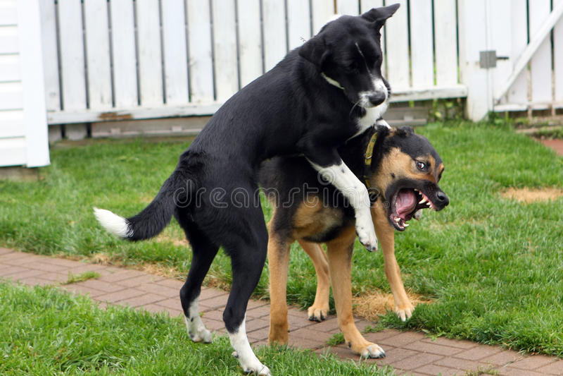 hundar som leker två royaltyfria bilder