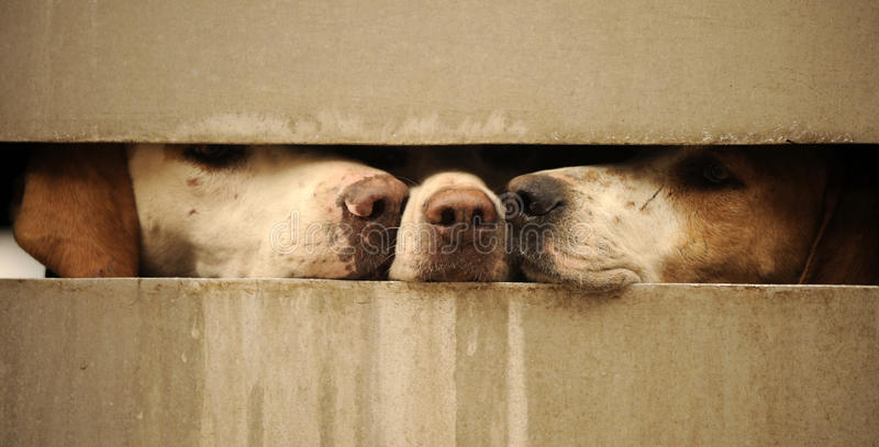 Hundar som ser till och med staket royaltyfria foton