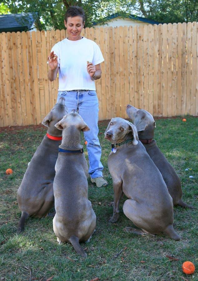 hundar som utbildar kvinnan arkivbild