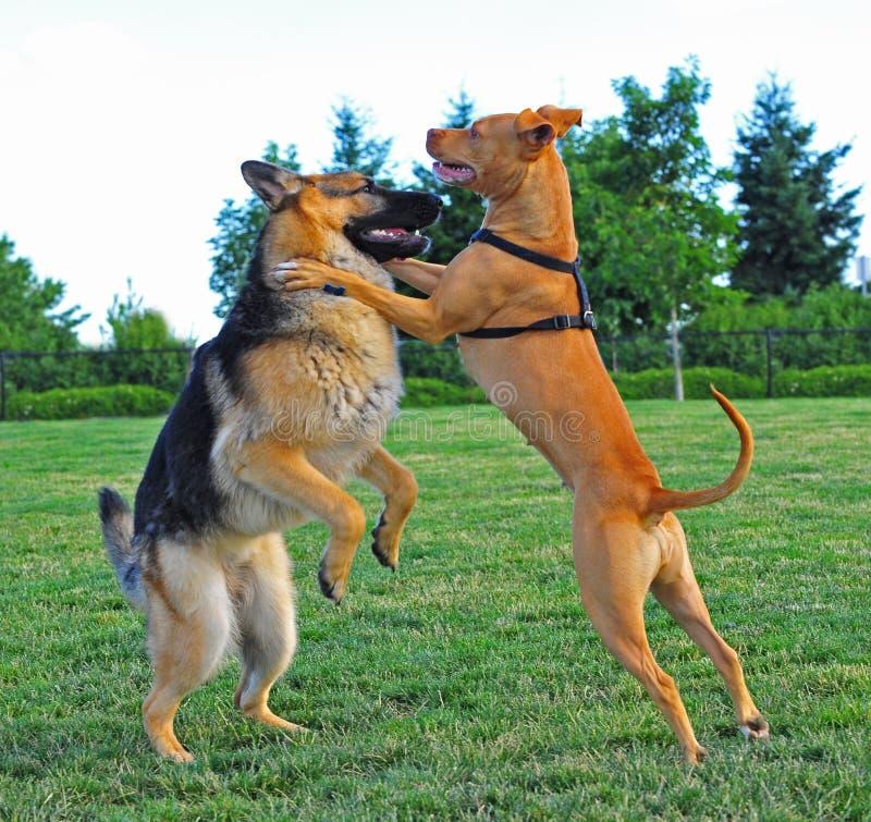 hundar två som brottas royaltyfri fotografi