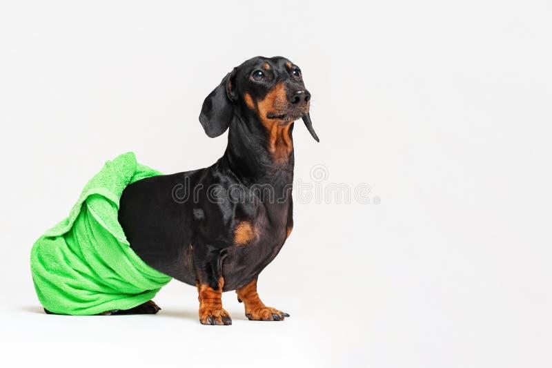 Hundavel av taxen, svart och solbränt, efter ett bad med en grön handduk som slås in runt om hennes kropp som isoleras på grà arkivfoton