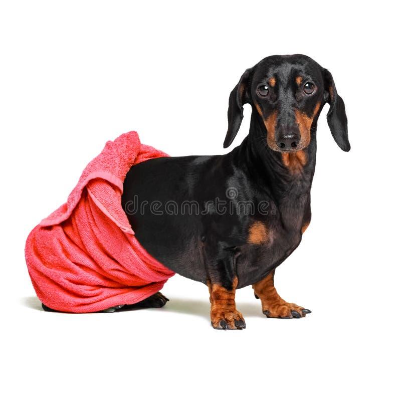 Hundavel av taxen, svart och solbränt, efter ett bad med en röd handduk som slås in runt om hennes kropp som isoleras på vit  royaltyfri bild