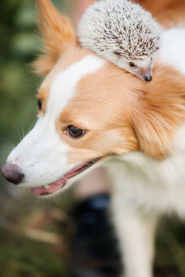 Hundavel border collie som spelar med en igelkott arkivbilder