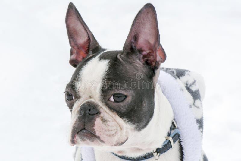 Hundavel Boston Terrier arkivbild